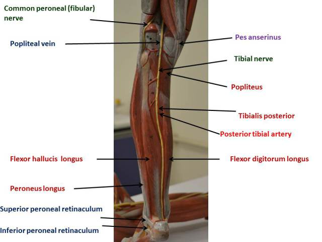 gluteal region and lower limb – fhs122 anatomy e-lab, Muscles